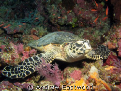 Hawksbill turtle posing on a ledge on the Tubbataha Reef by Andrew Eastwood 